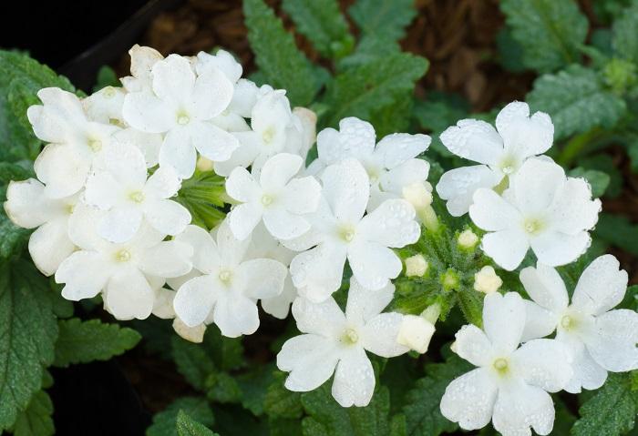 バーベナは3月~11月頃まで長い期間花を咲かせます。小さな花が集まって丸い花姿になってこんもりと咲く特徴があります。