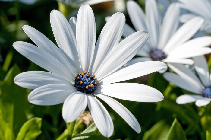 オステオスペルマムは、同じキク科のディモルホセカと似ていますが、ディモルフォセカは一年草、オステオスペルマムは多年草として分類されています。