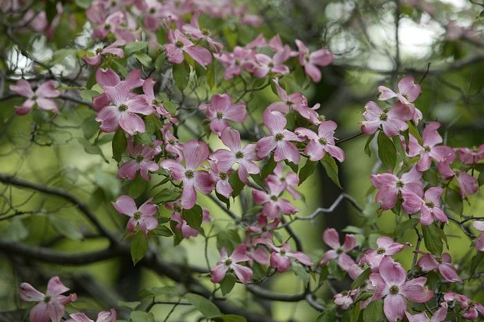 ハナミズキの特徴 ハナミズキはソメイヨシノが散った頃から咲き始めます。枝の先に、空に浮かべるように花を咲かせます。ハナミズキの花のように見える部分が実はガクが変化したもので、花ではありません。花色はピンクの他に白があります。