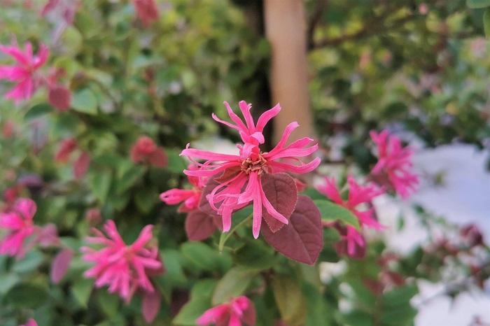 トキワマンサクの特徴 トキワマンサクは春、梅より少し遅れて咲き始めます。トキワマンサクの花は花びらが細く、はたきのような、ちょっと変った形状をしています。花色は濃いピンクの他に白もあります。