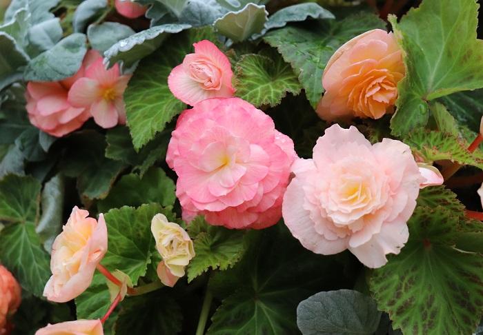 フォーチュンベゴニアは、華やかでつやがある大輪の花が魅力の球根ベゴニア。春にも出回りますが、夏の高温多湿が苦手なので温暖地では秋に植える方がおすすめです。9月~12月頃までその美しさを満喫できます。球根を凍らせないように冬越しできると翌年も楽しめます。