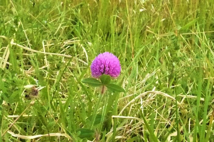 学名:Trifolium pratense 花期:3月~8月 アカツメクサ(ムラサキツメクサ)の特徴 アカツメクサは赤とも紫ともピンクとも言い難い色の、球状の花を咲かせるクローバーです。河原や空き地、公園など多くの場所で見かけます。  アカツメクサとシロツメクサの違いは、花の色はもちろんですが、草丈の高さです。アカツメクサは3枚の小葉も大きく、葉茎が太くしっかりしていて草丈30㎝程度まで高くなります。