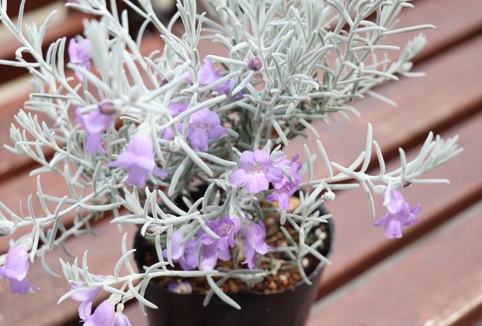 エレモフィラ・ニベアは銀白色の毛に覆われた美しい葉を持つオーストラリア原産の常緑低木。3月~5月頃、青紫色の爽やかで美しい花が咲きます。
