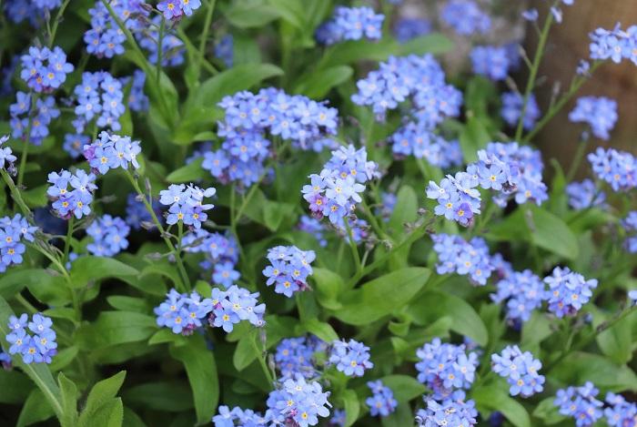 ワスレナグサ(忘れな草)は暑さと過湿を嫌い、夏越しが難しいことから日本では一年草として扱われていますが、こぼれ種でどんどん増える繁殖力の強い植物です。最近では草丈が高い品種も出回り、切り花としても人気があります。