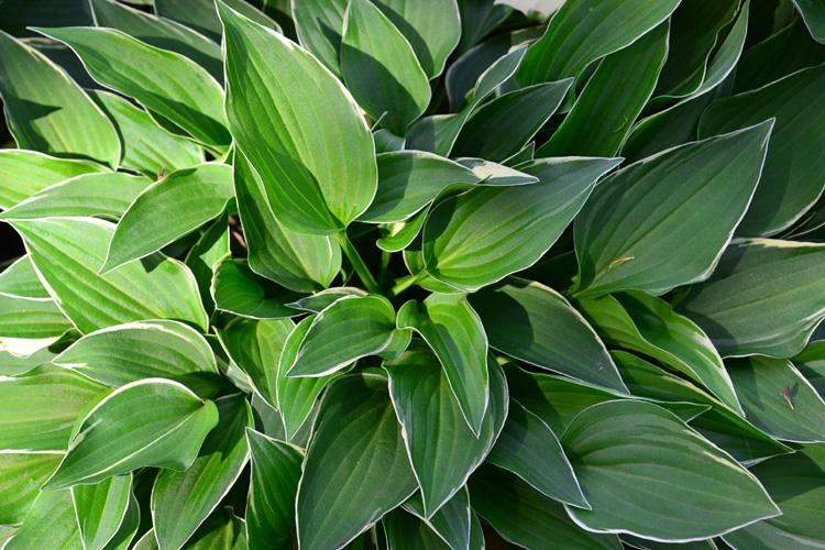 庭植えにするとどんどん大きな株に生長していくギボウシは鉢植えで管理すれば大きくなり過ぎることもなく、ベランダで楽しめます。イングリッシュガーデンで好まれる植物の一つです。
