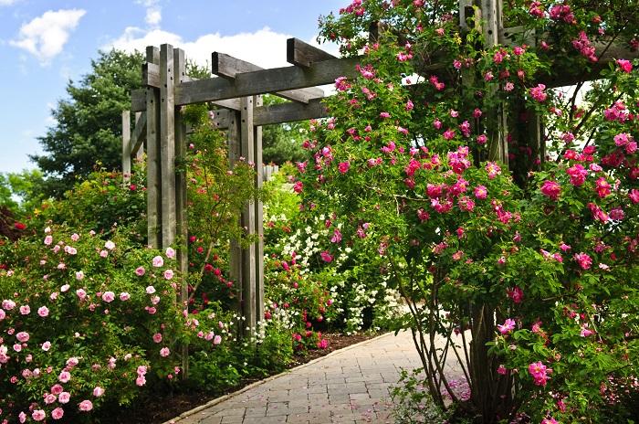 イングリッシュガーデンに欠かせない花と言えばバラです。野花のような雰囲気の一重咲きから豪華な八重咲き、オールドローズなどのカップ咲き、色も咲き方も多様です。さらに品種によって香りも違います。