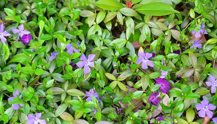 ビンカとはツルニチニチソウの学名です。ニチニチソウとは別種の植物になります。上に伸びるよりも横に這うように伸びていくので、グランドカバーとして人気があります。