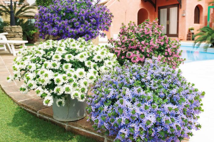 花密度が高く、真夏も美しい姿にまとまる「サンク・エール」