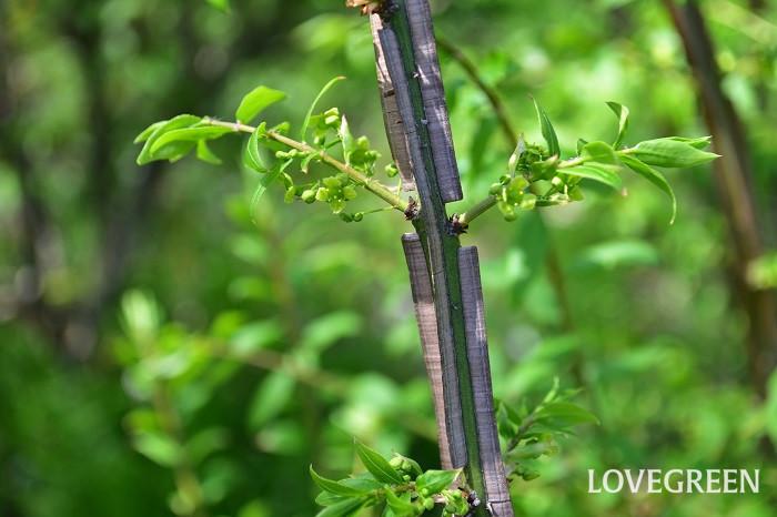 ニシキギ(錦木)は、翼(よく)と呼ばれるコルク質の羽が枝についている特徴があり、落葉中の姿にも存在感があります。