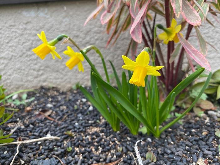 スイセンの花は歩いていても足を止めてしまうくらい、爽やかで優しい香りがします。冬に咲き始める早咲き種から春に開花する品種まであります。