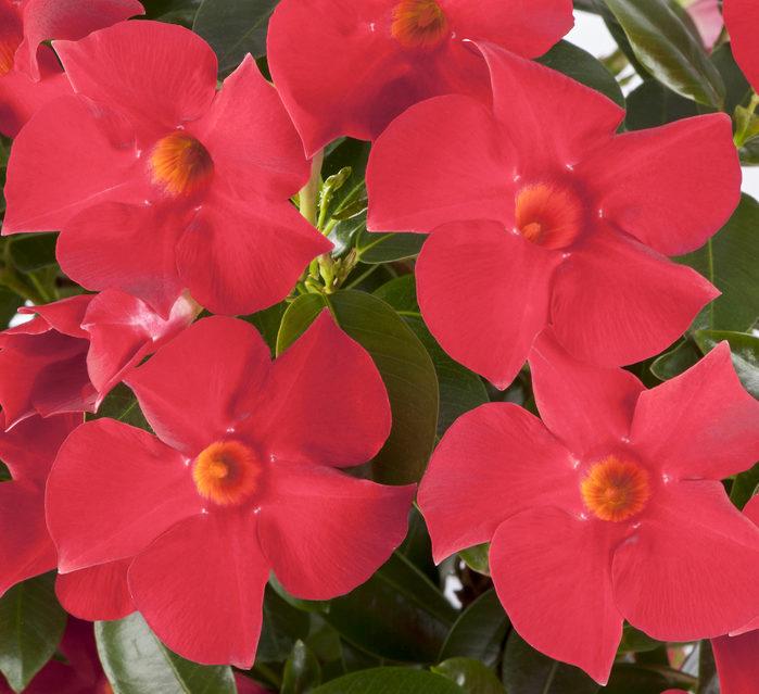 そんな夏の人気花サンパラソルのなかでも、一番人気の花色「クリムゾン」が2021年にリニューアル!これまでのものよりさらに花つきが早くなり、花色も鮮やかな濃い赤色になり登場です。4月中旬頃から、全国の園芸店やホームセンターの園芸売場に並ぶので、ぜひチェックしてみてください♪