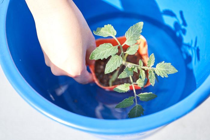 本気野菜ミニトマト純あまで育てるプランター家庭菜園の植え付け