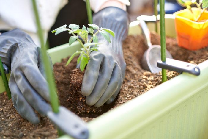 本気野菜ミニトマト純あまで育てるプランター家庭菜園植え付け苗