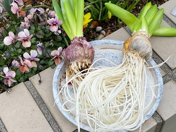 根がしっかりと生長したヒヤシンスです!こちらを花壇に植え付けます。