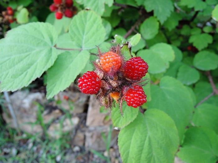 ラズベリーはキイチゴの1種です。バラ科キイチゴ属(Rubus)の仲間の総称をキイチゴといいます。つまりラズベリーとキイチゴの違いというものはありません。ラズベリーもキイチゴの仲間だからです。