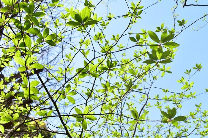 落葉樹とは、主に冬に葉を落として休眠する樹木を指します。春の芽吹き、夏の青葉、秋の紅葉が楽しめ、季節によって庭の風景が変わり四季を感じられる樹木です。