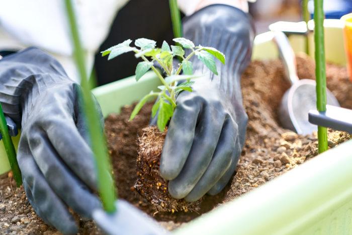 ③根を崩さないように、ポットからそっと苗を出し、植え付けます。