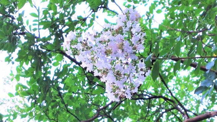 分類:落葉高木 樹高:3~10m 花期:7月~10月 サルスベリは夏に鮮やかな色とりどりの花を咲かせる花木です。名前の由来はサルも滑り落ちてしまうくらい、木肌が滑らかだということからきています。