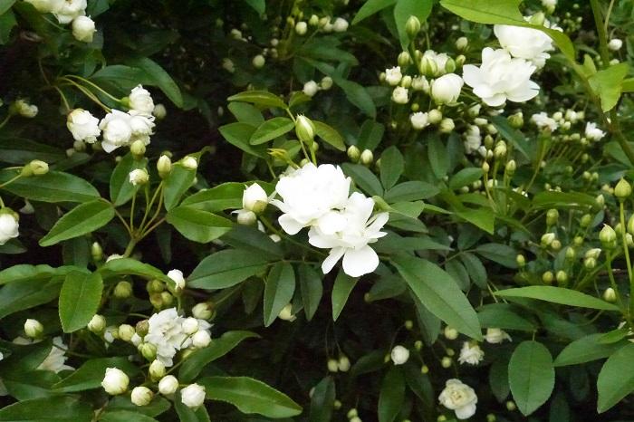 モッコウバラは挿し木で増やせます。簡単な挿し木の方法を紹介します。  モッコウバラの挿し木の方法 挿し木に向いている時期:5~6月 モッコウバラの枝を花から2~3節下で10㎝程度切り取る 葉を半分残してカットする 2~3時間切り口を水に浸けて十分に給水させる 十分に湿らせた赤玉土小粒やバーミキュライトなどに挿し、土が乾かないようにたっぷりと霧吹きで水やりをする 直射日光を避けた明るい半日陰で土が乾かないように管理する 2ヶ月程度でポットの裏から根が確認できたら挿し木の完成 根が確認できたら、培養土をいれた鉢に植え替えて、通常通り育てます。