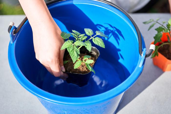 ②植えつける前にバケツに水を用意して苗にしっかり水を吸収させます。 ※バケツがなければ、苗にそのままたっぷり水やりしても大丈夫です。
