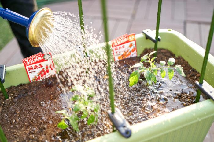 本気野菜ミニトマト純あまで育てるプランター家庭菜園植え付け水やり
