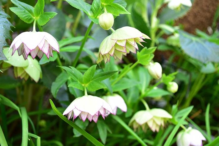 植え付ける前に植物の生長した姿を想像しましょう。購入時には小さな苗でも、生長すると大きくなる植物もあります。  植え付け時の華やかさばかり意識してしまうと、生長してから窮屈になることもあります。