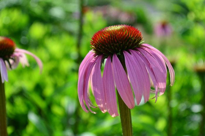 エキナセアは初夏から秋まで長期間、花が開花する宿根草です。夏の高温期になると、花が休みがちになりますが、秋になると再び花が開花し始めます。エキナセアは、宿根草の中では生長が遅いタイプなので、花が見事になるのは、2,3年目以降からです。