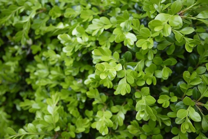 分類:常緑高木 樹高:1~5m ツゲは強い刈込に耐えるため、短く刈り込んで生垣として利用されます。ツゲノメイガの幼虫の被害に注意が必要です。