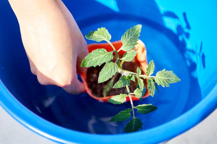 ①バケツに水を用意して苗にしっかり水を吸収させてから植え付けましょう。 ※苗にたっぷり水やりする方法でも大丈夫です。