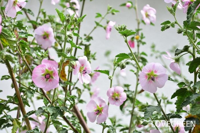 アニソドンテア・マルバストロイデスは四季咲きで花の開花期間がとても長く、花付きが良いのが魅力の低木です。環境が合えば、ほぼ毎日花を咲かせます。こまめに株元で切り戻しを続ければ、宿根草のように育てることも可能です。剪定の仕方次第で色々な仕立て方を楽しめます。