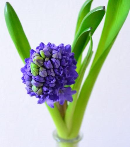 ヒヤシンスの花は、茎の周囲に小さな花が密集するように咲きます。こういった咲き方を「総状花序」と言います。そのため、一輪でもボリュームがある花姿となります。また、それぞれの花は、一度に開花するのではなく、下の方から上に向かって順番に花が咲いていきます。