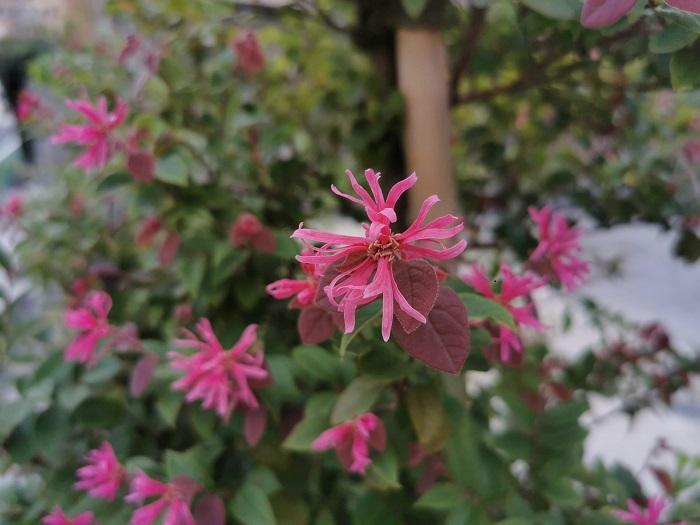 分類:常緑高木 樹高:3~5m トキワマンサクは、春に咲く糸のような変わった形状の花と、丸い小葉が可愛らしい常緑高木です。