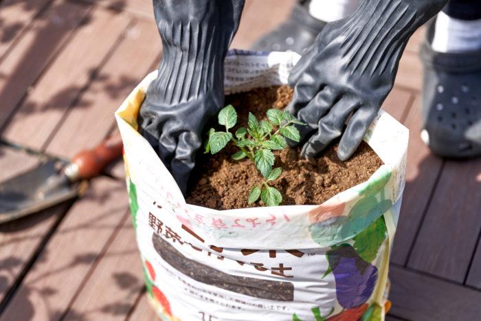 ④野菜苗を植えつけてください。必要に応じて支柱を立ててください。※袋のまま育てる場合では鉢で育てる場合に比べて、やや植物が倒れやすいため、注意してください。