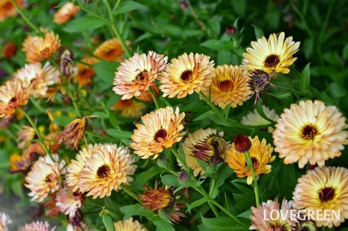 カレンジュラは、別名キンセンカ、ポットマリーゴールドとも呼ばれるキク科の一年草のハーブです。ハーブとして流通しているのはオレンジ色の花ですが、最近、園芸種のカレンジュラの種類が豊富で、写真のようなシックな花色や八重咲種なども豊富にあります。