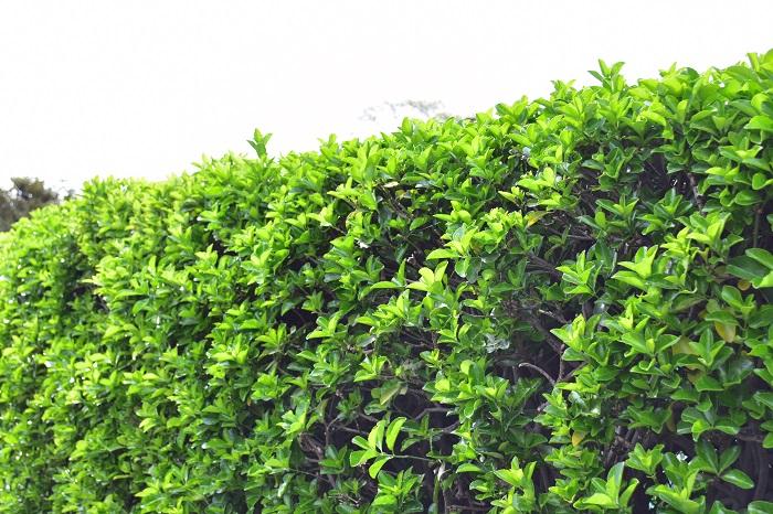 常緑樹とは、四季を通じて緑の葉を絶やさない樹木を指します。庭木の中でも常緑樹は、目隠しや風除けとして役立ちます。