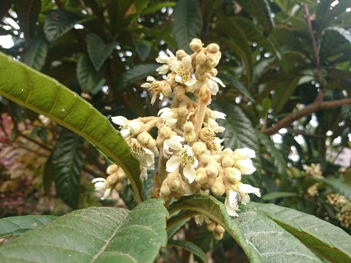 分類:常緑高木 樹高:5~10m ビワは冬に花を咲かせ、初夏に果実を実らせる果樹です。放っておくと大きくなるので、手入れが必要です。