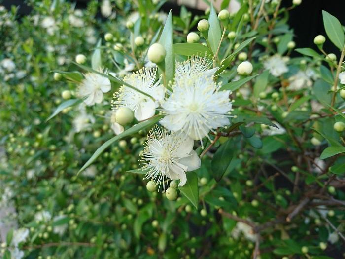 分類:常緑低木 樹高:1~3m マートルは光沢のある葉と、梅を思わせる花が美しい庭木です。葉に芳香がありハーブとしても人気です。