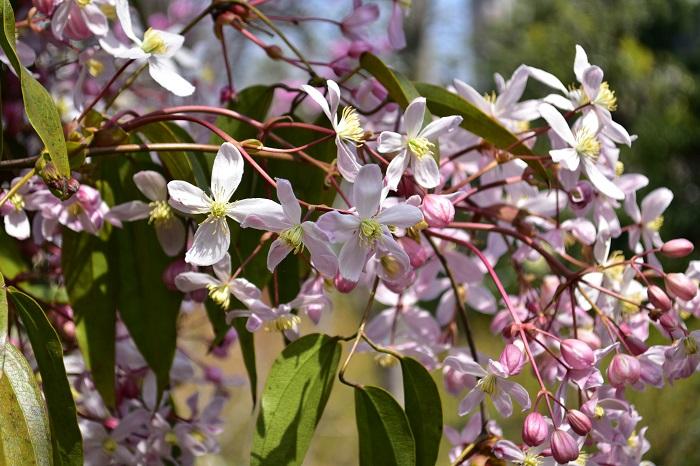 クレマチス・アップルブロッサムは、3月~4月に開花します。株一面に花が覆うように開花し、満開時は香りもします。大株になった際の状態は、とても見事な光景となります。