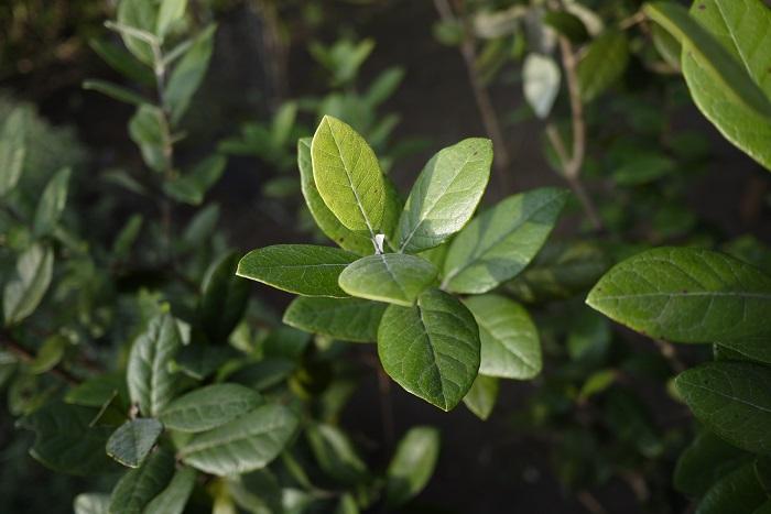 分類:常緑高木 樹高:5~6m フェイジョアは放っておくと5~6mになる常緑高木です。短く刈り込むと枝葉の密度が高くなるため、小さく仕立てて生垣にされます。