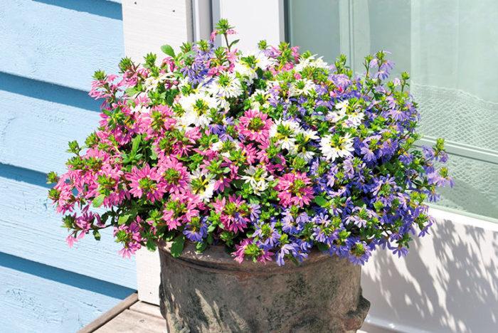 サンク・エール同士の混色植えも色合いが美しくおすすめ