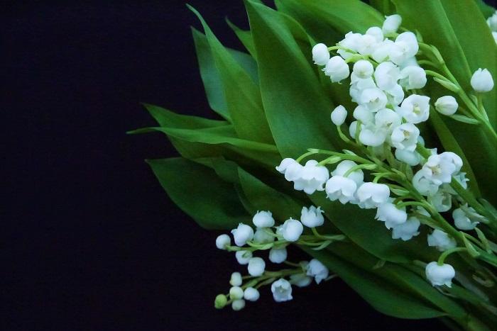 スズランの外国語名を紹介します。  学名:Convallaria majalis 英名:Lily of the valley(リリーオブザバレー)、May lilly(メイリリー)、Our lady's teas(アワレイディーズティアーズ)、Ladder to heaven(ラダートゥヘヴン) フランス名:Muguet(ミュゲ) スウェーデン名:Liljekonvalj(リリコンバージュ) 各国によって、呼び方は様々です。スズランはスウェーデンの国花とされているそうです。フランスでは5月1日をスズランの日といい、スズランを贈り合う習慣があるといいます。