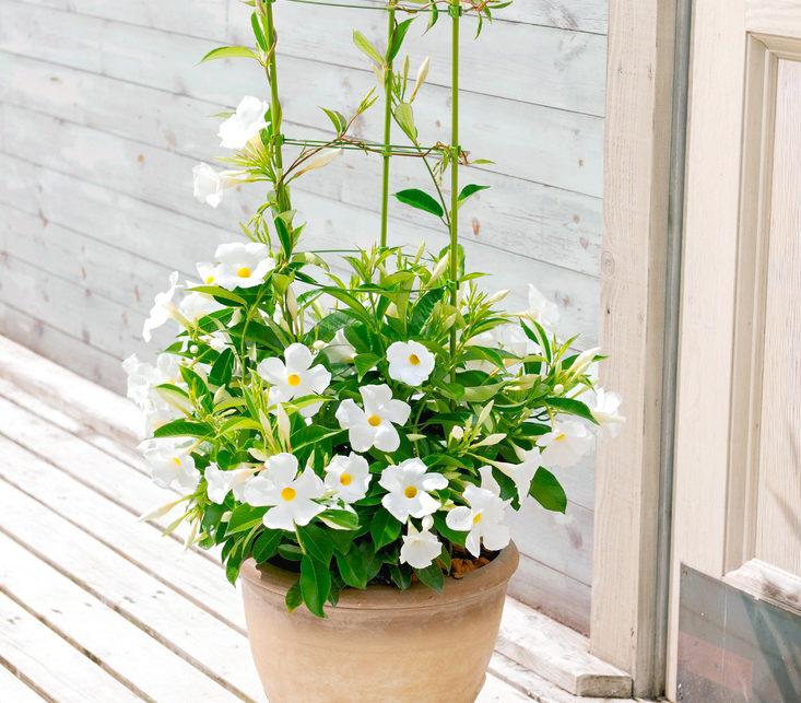 鉢植えで楽しむあんどん仕立ては定番の楽しみ方。支柱を立ててつるを這わせれば、優美で立体的な姿を見せてくれます。