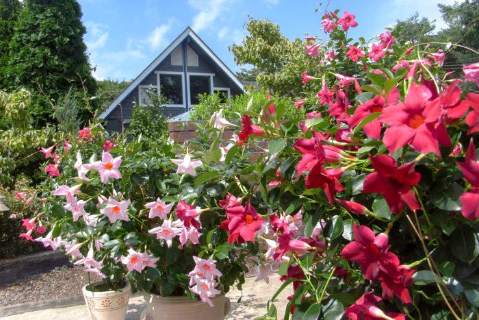 サンパラソルは、暑さに強いつる性の植物で、夏から秋まで長く楽しめる花です。レッドやピンク、ホワイトにイエローといろいろな花色がありますが、どれもとってもトロピカルな趣き。輝く葉と花のコントラストが、南国風の雰囲気を醸し出してくれます。