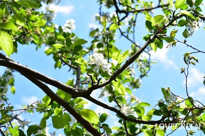 クラブアップルは、春に桜のような花を咲かせ、秋から冬に小さなリンゴのような実を付けます。
