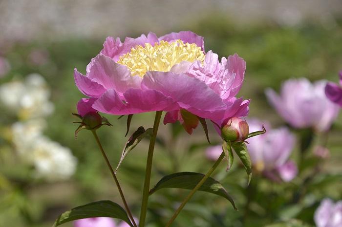 シャクヤクはピオニーとも呼ばれ、香水もあるくらい香りの良い花です。たっぷりと幾重にも重なった花びらが豪華な美しい花で、似たような花木にボタンがあります。