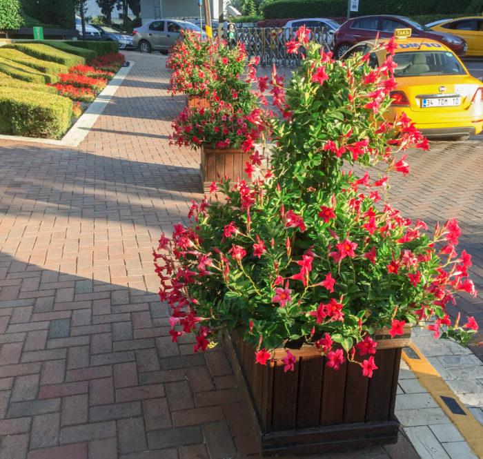 伸びたつるに花が咲き誇る姿が通りを明るく彩ります。街花壇としても、自宅に飾る鉢花としても存在感たっぷりでおすすめです。