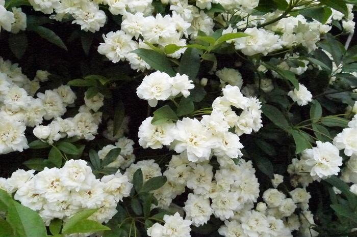 モッコウバラの冬越しや、冬にできる手入れについてお話します。  モッコウバラの冬の剪定 モッコウバラの冬の剪定は枯れた枝や、暴れている枝、不要な枝を整理する程度にします。モッコウバラは夏に枝を伸ばし花芽の準備を始めます。冬の剪定は翌春の花芽を切り落としてしまう心配があります。  葉が少なくなっている時期に姿を整えるようにしましょう。  モッコウバラの冬の水やり 庭植えのモッコウバラは、特に水やりの必要はありません。降雨に任せましょう。鉢植えのモッコウバラは表土が乾いたらたっぷりと与えます。  気温が寒い時期の水やりは日中に済ませましょう。夕方以降に水やりをすると、土のなかに水分が凍ってしまい、根を傷めることがあります。  モッコウバラは冬に枯れる? モッコウバラは常緑低木です。そうは言っても冬の寒さには弱く、関東でも葉を減らし、葉の色が赤銅色になることもあります。寒冷地では落葉するところもあるようです。  落葉したからと言って枯れたと思わず、翌春の芽吹きを待ってみましょう。