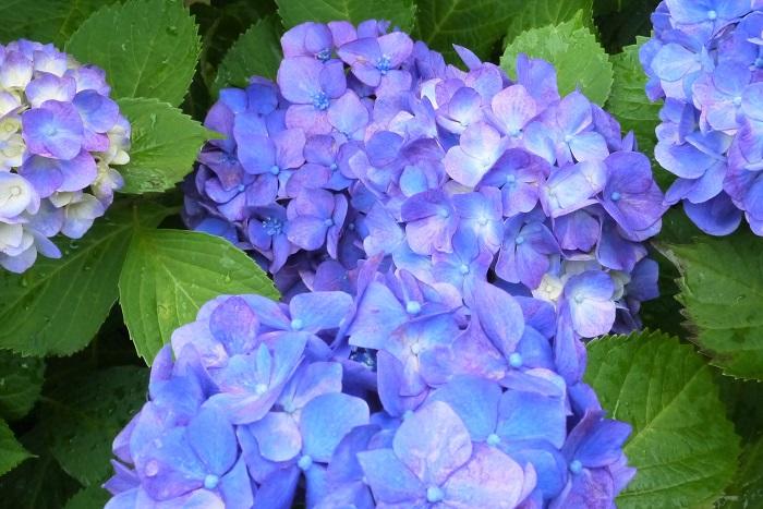 分類:落葉低木 樹高:30㎝~3m 花期:5月~6月 アジサイは日本の梅雨を代表するような花です。花後は早めに剪定すると来年もたくさんの花を楽しめます。