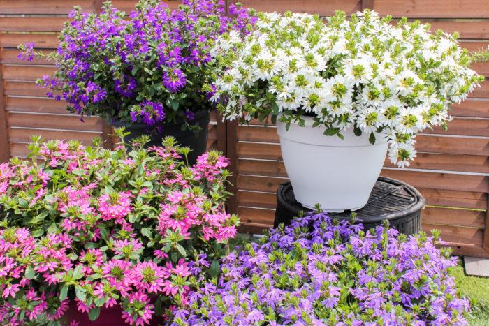 暑さに圧倒的に強い!真夏でも満開の夏の主役花「サンク・エール」