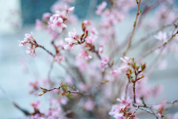 さて、今年はお家で飾る人が増えてきているためか花屋でも桜がとても人気です。  桜の種類は本当にたくさんあります。お花見の定番のソメイヨシノや、濃いピンク色と細い枝ぶりが楽しめるひより桜、白に近く花びらが大きい吉野桜など。